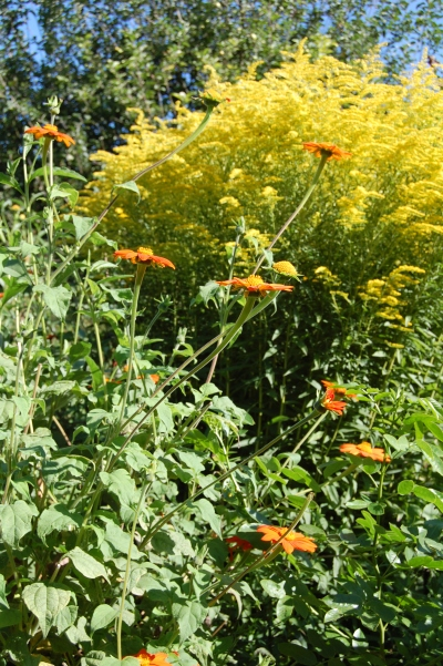 Tithonia, Goldenrod, Giverny