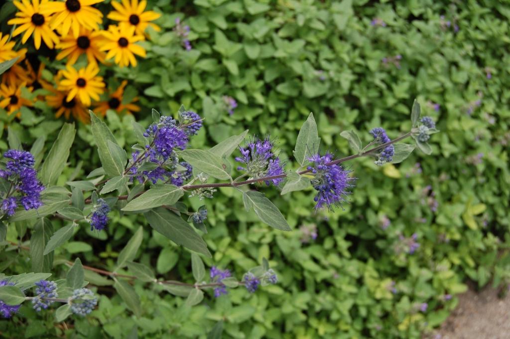 Caryopteris 'Longwood Blue'
