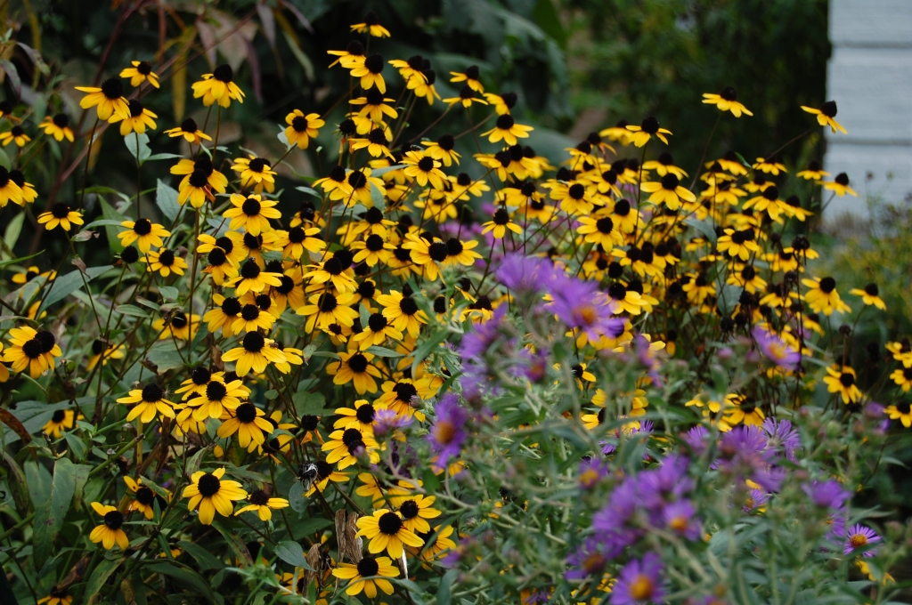 Brown Eyed Susan, New England Aster