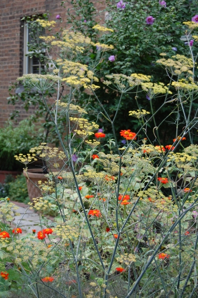 Fennel and Mexican Sunflower