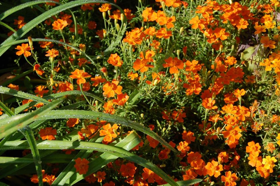 marigolds Giverny