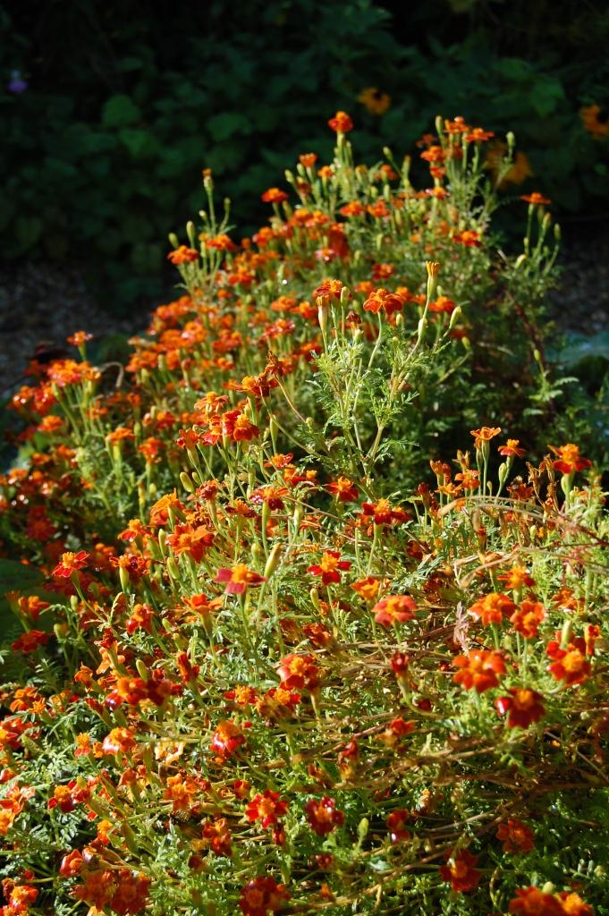 marigold Giverny