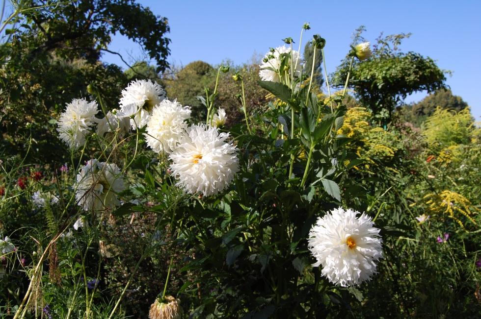 Giverny White Dahlias