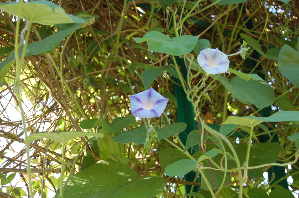 Giverny morning glory