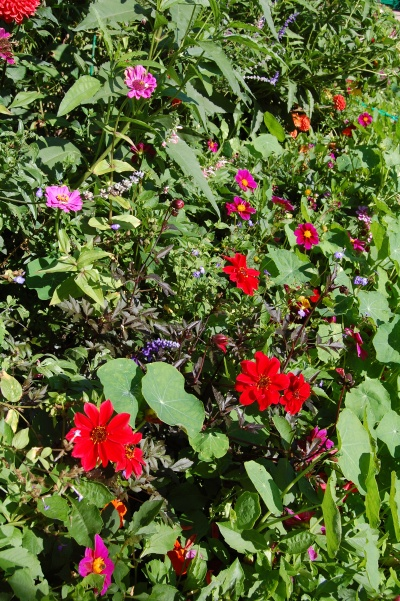 Giverny Red and Purple Dahlias