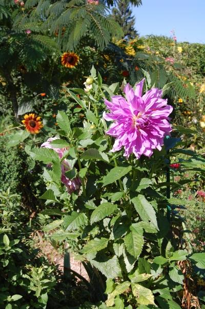 Giverny Purple Dahlia