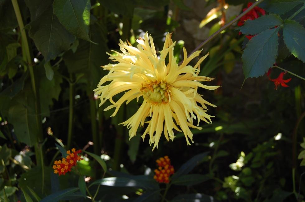 Giverny yellow dahlia