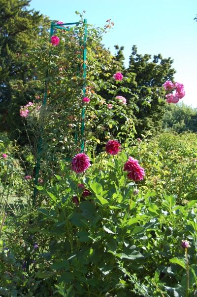 Giverny Dahlias roses