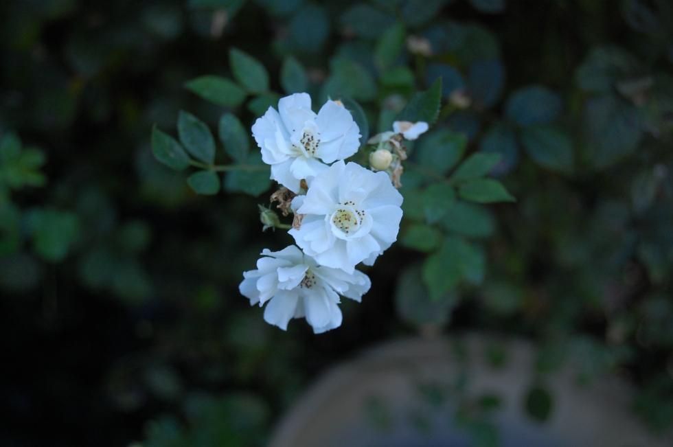 Rose cassie
