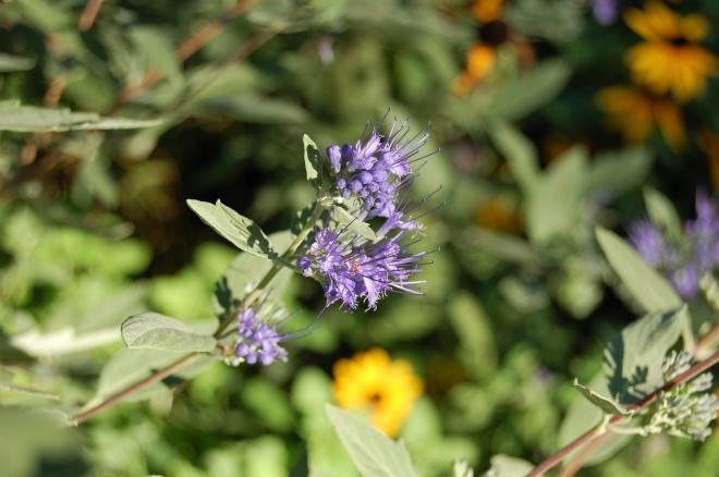 Caryopteris Longwood Blue