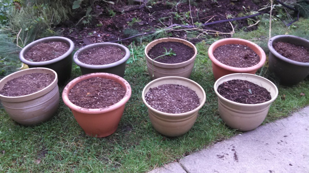planting container tulips