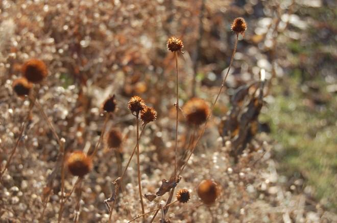 Rudbeckia seed heads