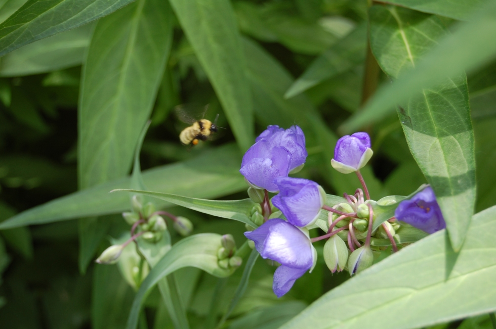 Spiderwort and Bumblebee