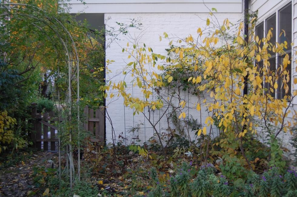 Spicebush fall color
