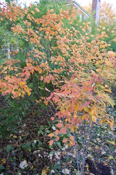Serviceberry autumn brilliance