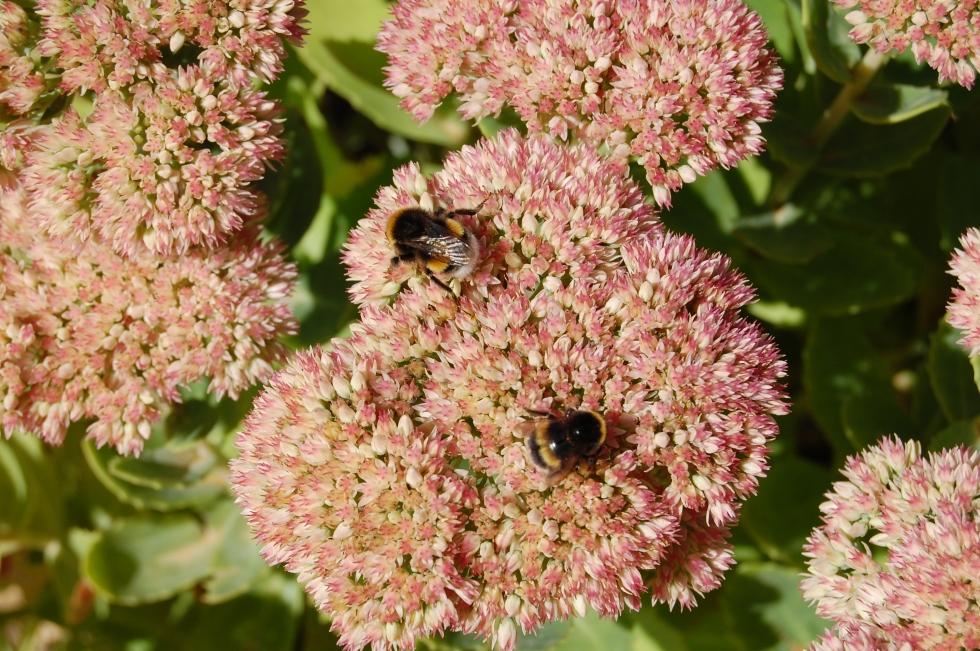 Sedum and bumblebee