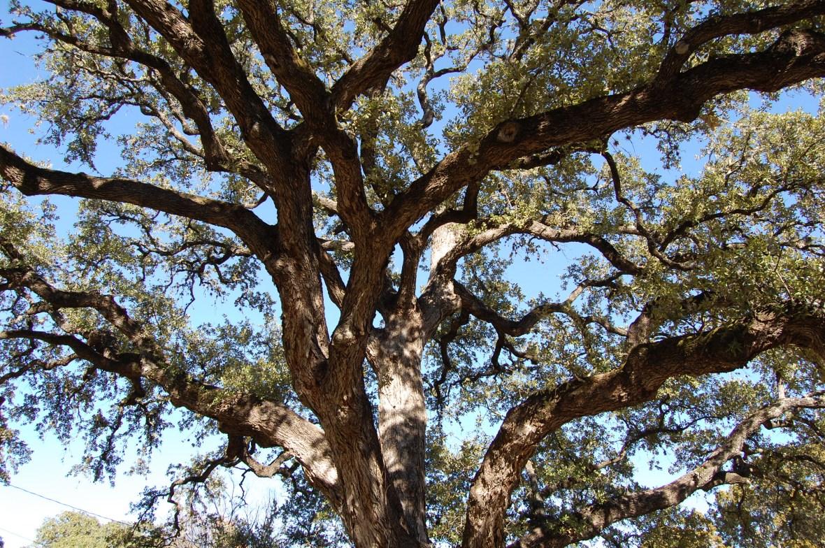 Texas Live Oak