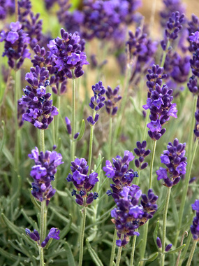 'Lavance Purple' Lavender. Photo from Bluestone Perennials.
