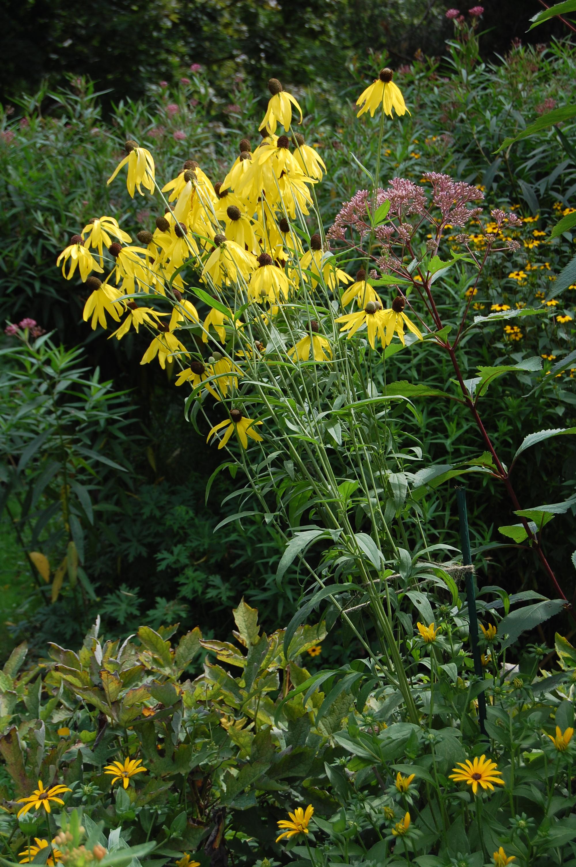 Companion Plant For Yellow Coneflower Gardeninacity