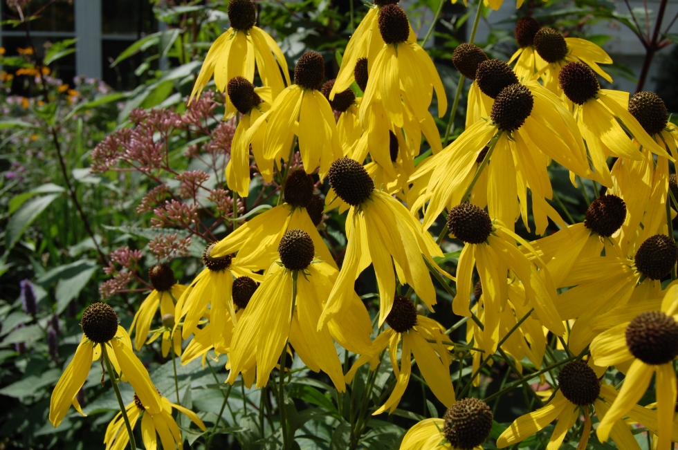 Yellow Coneflower
