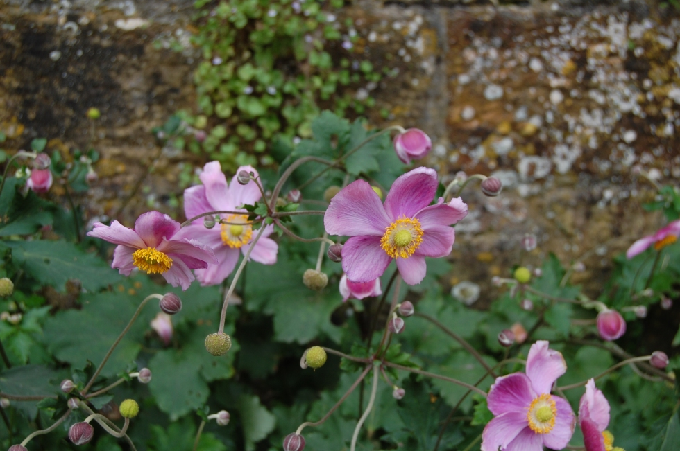 Scotney Castle Japanese Anemone