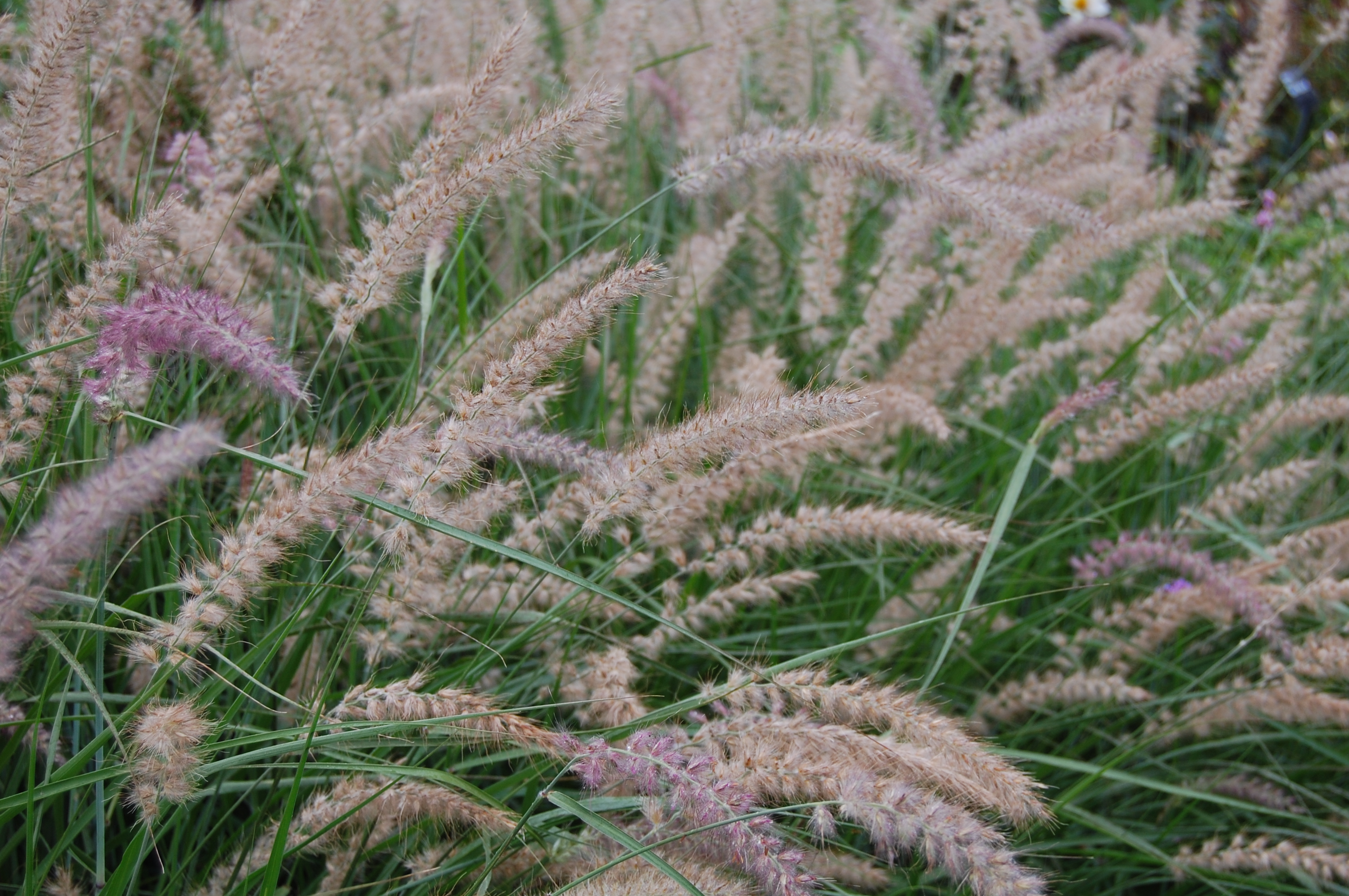 Rhs wisley part 1 gardeninacity for Small ornamental grasses for borders