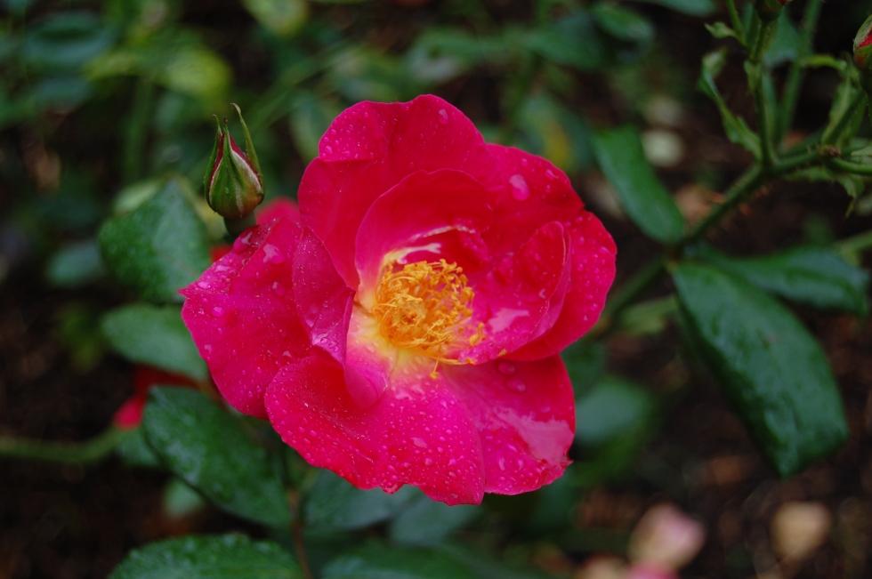 2013-09-13 08.14.32 rhs wisley rose garden