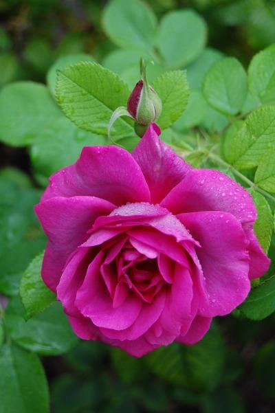 2013-09-13 08.14.49  rhs wisley rose garden
