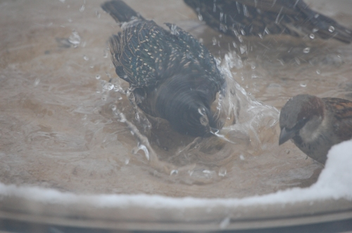 Starlings taking a bath