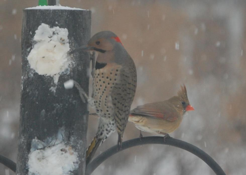 Northern flicker and female cardinal.