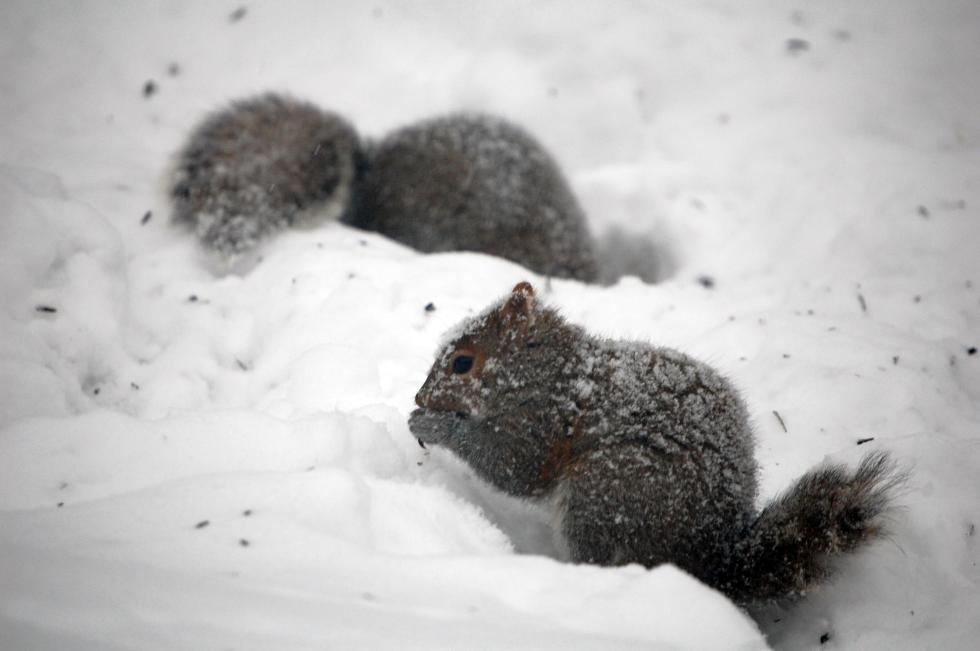 Squirrels in snow