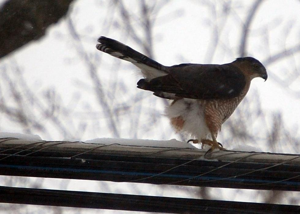 Can anybody tell what kind of hawk this is?
