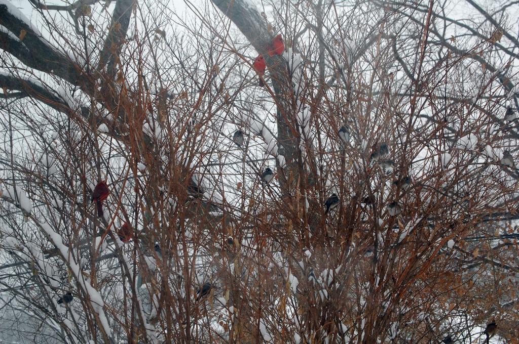 Deutzia bush full of cardinals, juncos, etc.