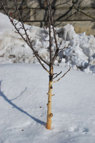 Rabbit damage of a young tree. Photo from Iowa State University (ipm.iastate.edu).