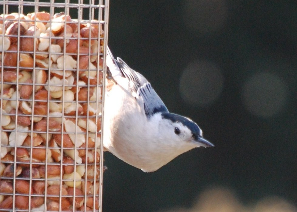 White breasted nuthatch at the peanut feeder.