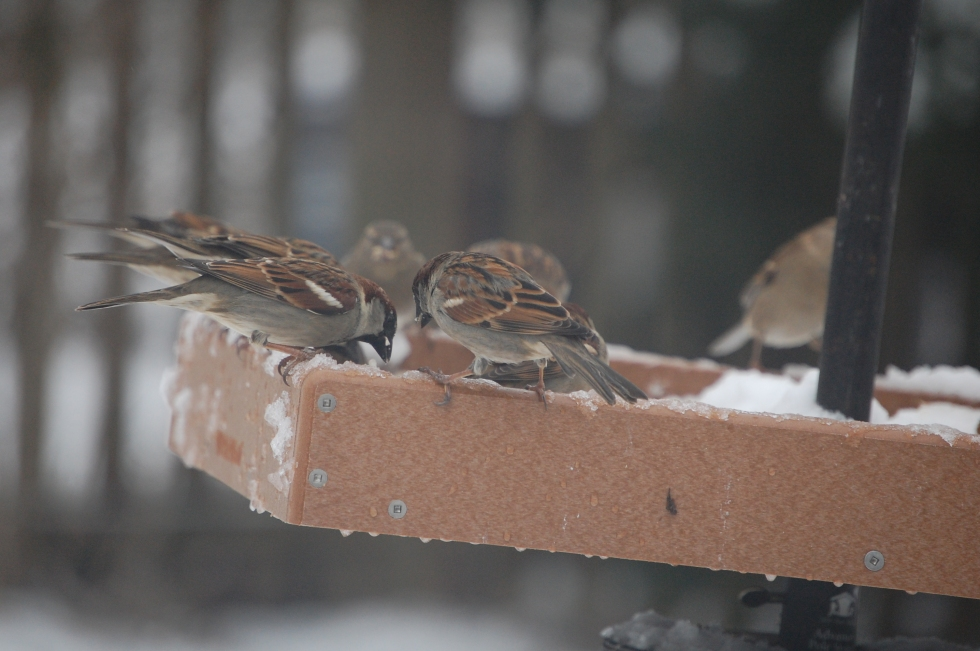 English Sparrows, gobbling everything off teh platform feeder.