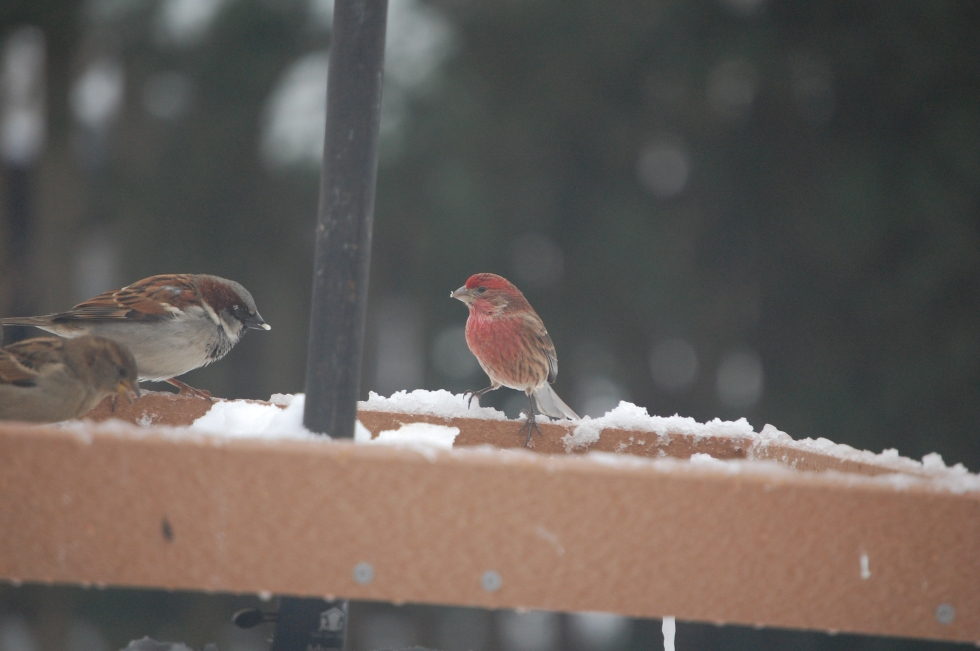 House Finch (wearing red) and English Sparrow.