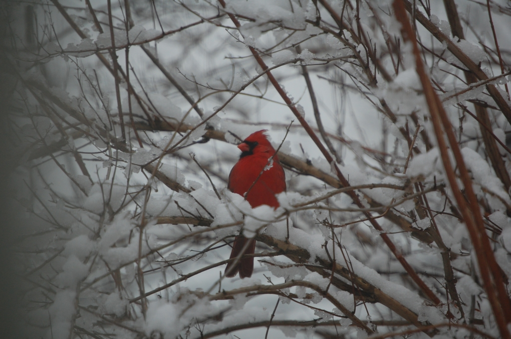 A Cardinal in the bush is worth ...