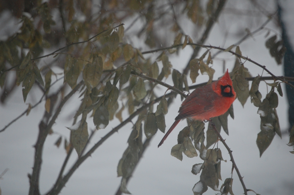 Northern Cardinals show up at more bird feeders than any other bird in the East Central United States.
