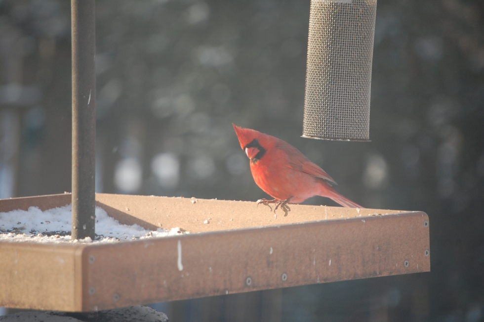 Northern Cardinals, dashing yet dignified