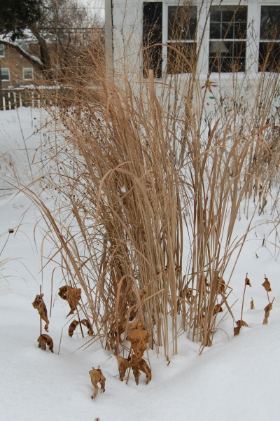 Switchgrass 'Northwind'