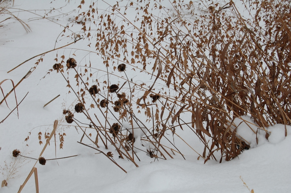 Northern Sea Oats with Monarda seedheads.