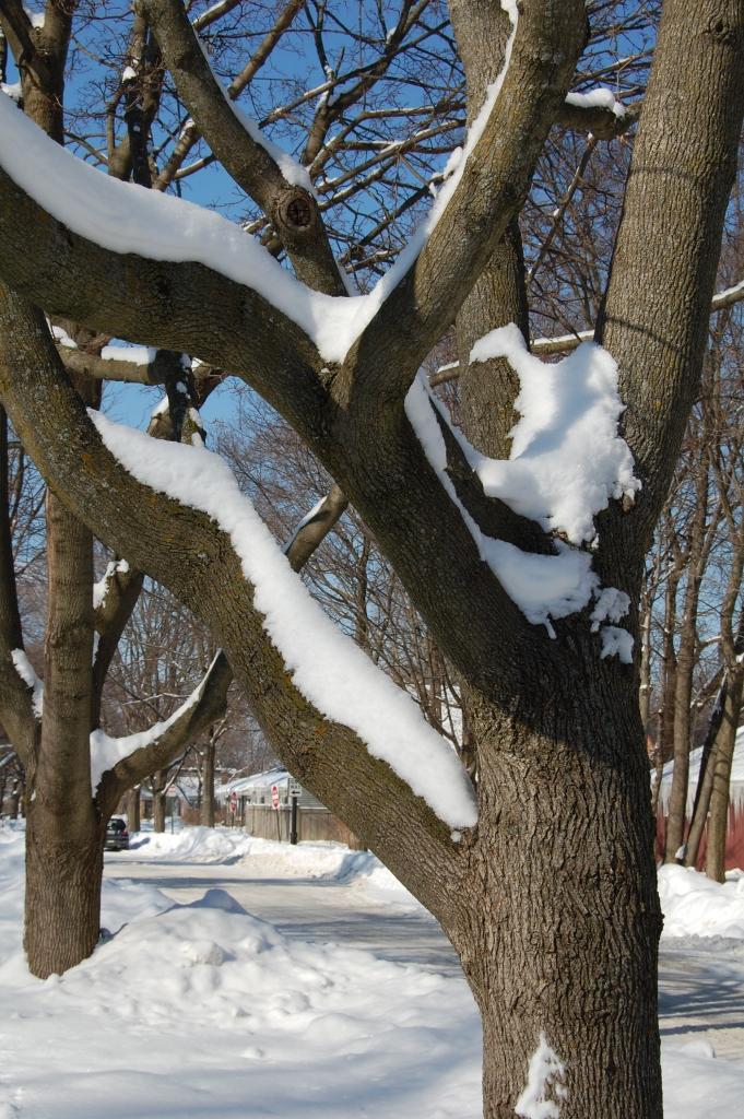 2014-02-09 12.23.08 snow on maple