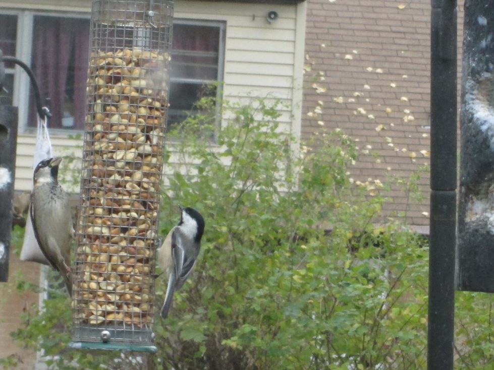 Chickadee (right) and English sparrow (left) at peanut feeder.