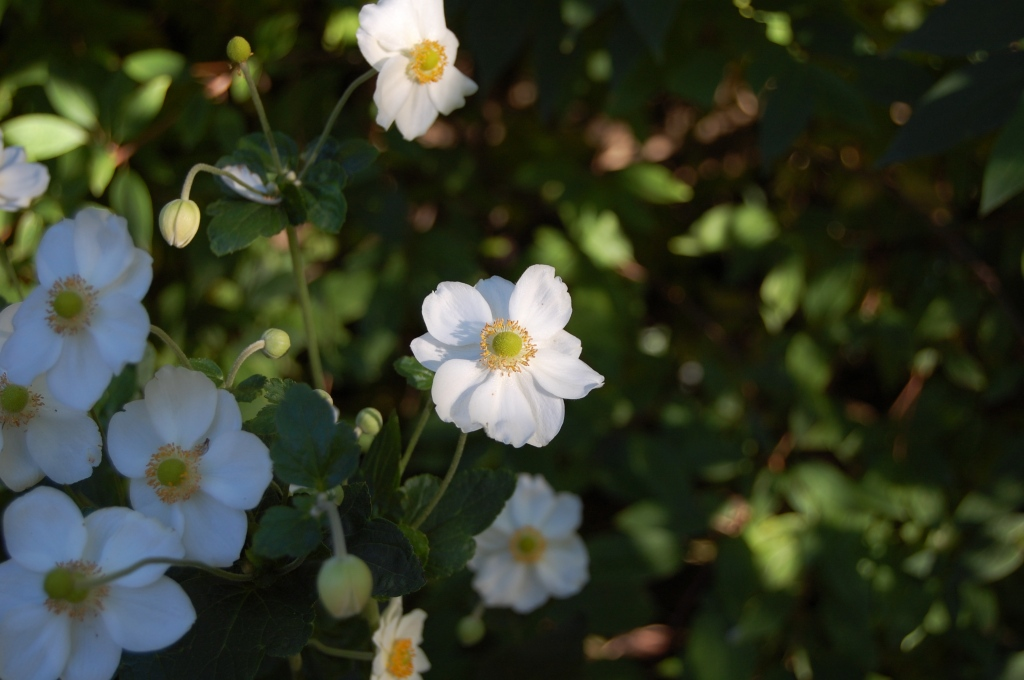 Japanese Anemone 'Honorine Jobert' displays the virtues of the single bloom.