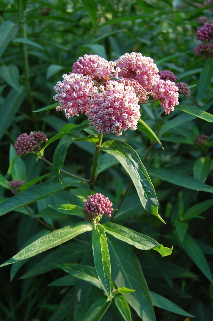 Swamp milkweed grows to about 5' and needs staking.