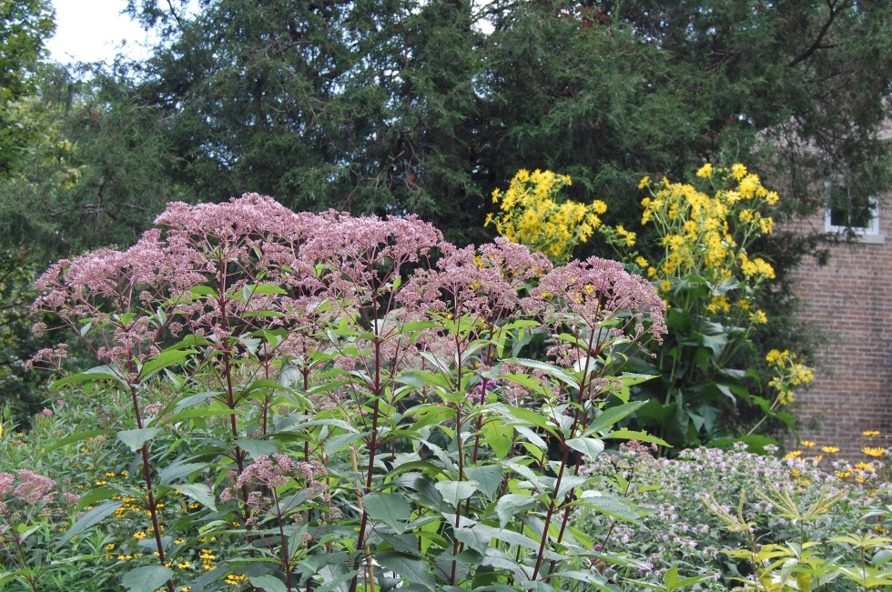 Joe Pye weed 'Gateway' and cup plant, two big floppers. These are the ones that need the 10' rebar.