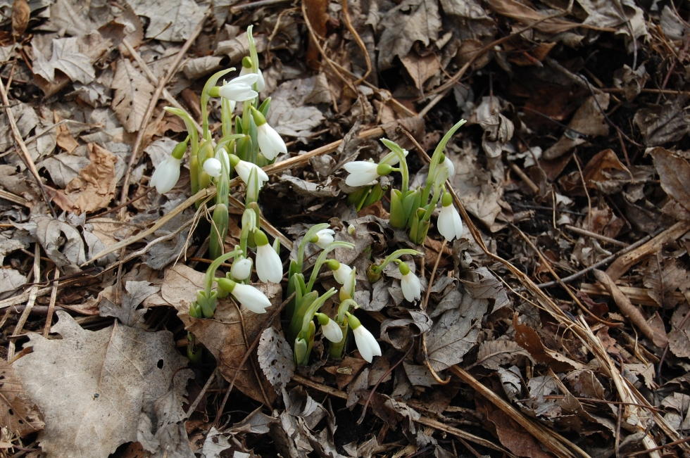 Snowdrops emerge from the frozen ground.