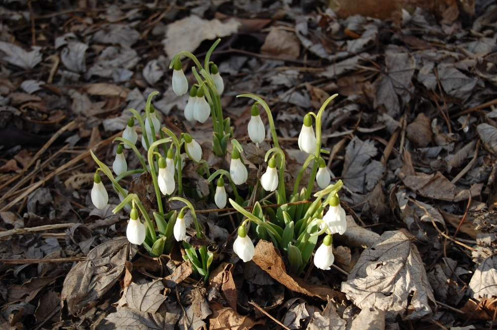 Snowdrops in bloom.