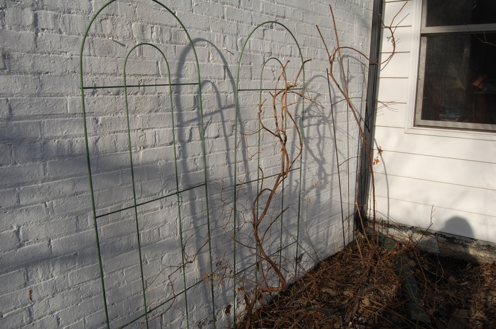 Trumpet honeysuckle after pruning. I know some people just cut it to the ground, but I'd hate to do that. Judy's shadow is in the lower right corner.